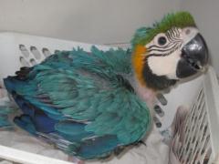 Macaw chick