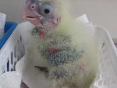 Redtail Chick