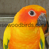 Sun-conures-homepage