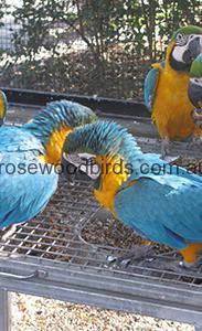 IMG_5514a Juvenile Macaws