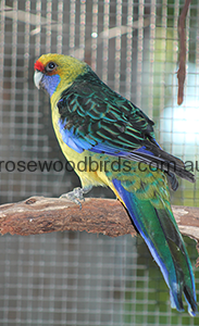 rosellas-green-cat