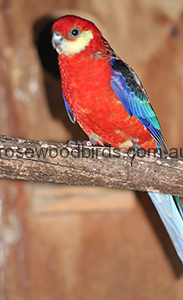 western-rosellas-cat