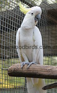 12. Sulphur Crested 0587Galerita cock
