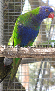 blue-fronted-rainbow-lorikeet-cat