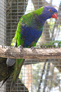 blue-fronted-rainbow-lorikeet