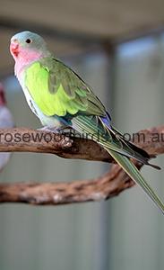 pricess-parrot-cat