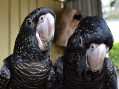 Redtail Black Cockatoos various subspecies